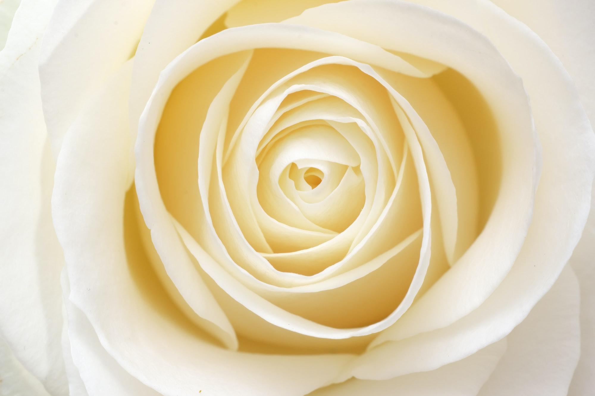 Beautiful fresh white rose